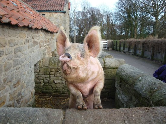 Beamish Museum: Oink!