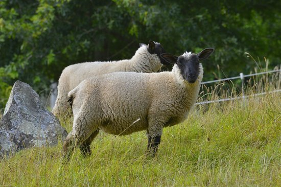 The Drury Homestead : Sheep