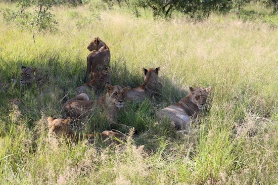 Cheetah Plains: LES 3 LIONNES ET LEURS ADOS