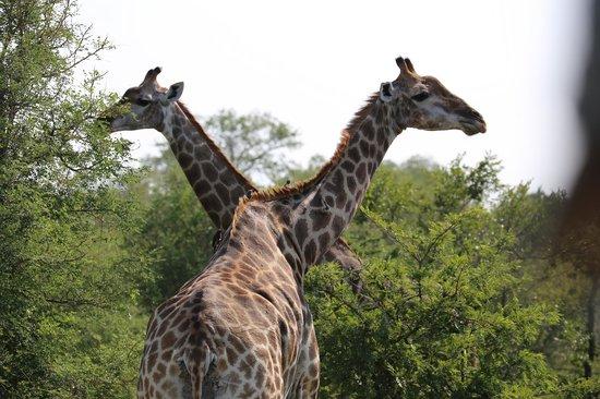 Cheetah Plains : GIRAFES