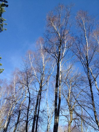 Anggardsbergens Naturreservat: Birches everywhere