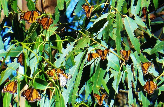 Monarch Erfly Grove Beautiful Day At The Pismo Beach Sanctuary