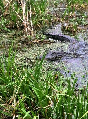 Lake Martin: Gator