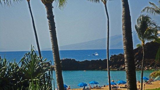 Sheraton Maui Resort & Spa : Humpback behind Blackrock