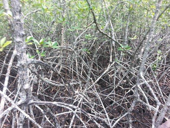 Mermaid Cruises : Mangrove forest