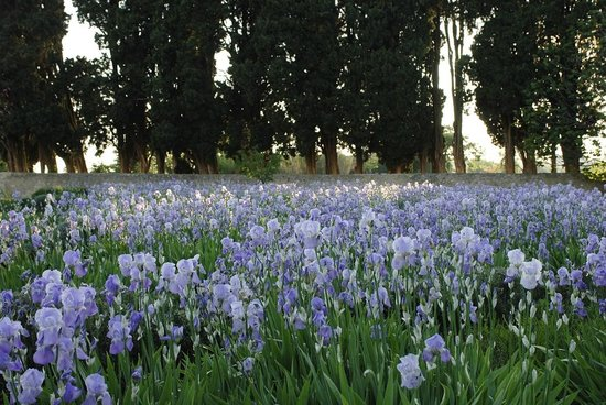 Le Pavillon de Galon : The Iris in bloom
