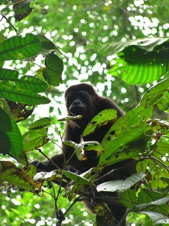 Chimuri Beach Retreat : Howler Monkey