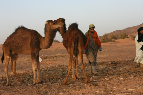 Hotel Nomad Palace: les dromadaires, avec Hassan