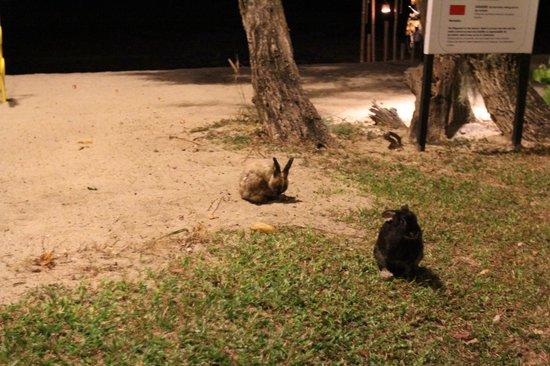 Thavorn Beach Village Resort & Spa : Rabbit appear near dining area