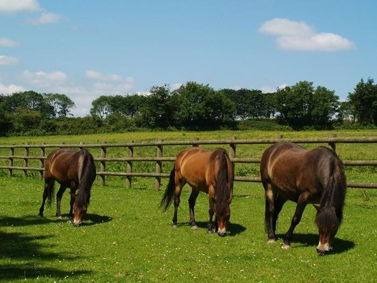Exmoor Pony Centre: Exmoor ponies grazing at the Centre