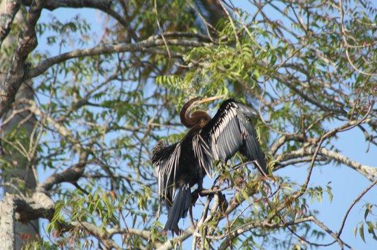 Philipkutty's Farm: cormorant drying wings