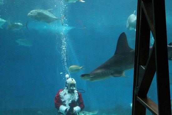 Maui Ocean Center: Santa in the shark tank (Dec 2013)