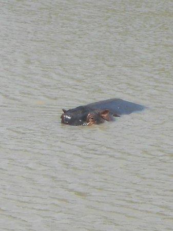Waterbuck Safaris: Hippo