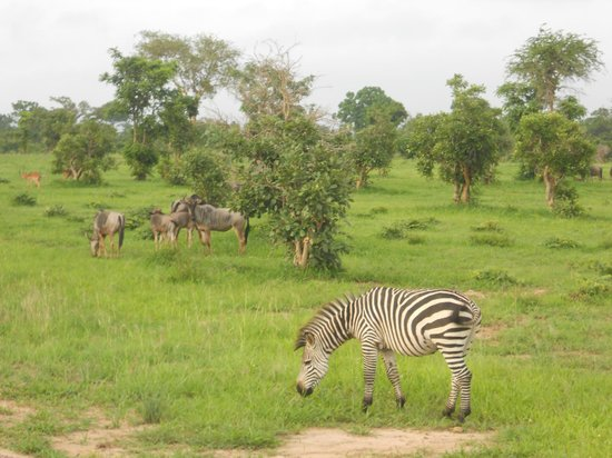 Waterbuck Safaris: Zebras...