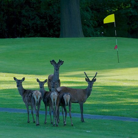 Shrigley Hall Golf Course: Resident deer next to 11th green