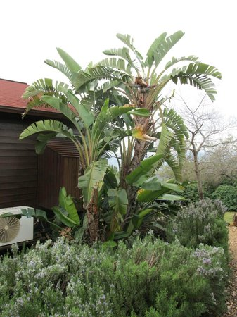Banana tree next to the cabin