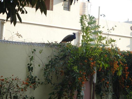 Hotel Anuraag Villa : peacock