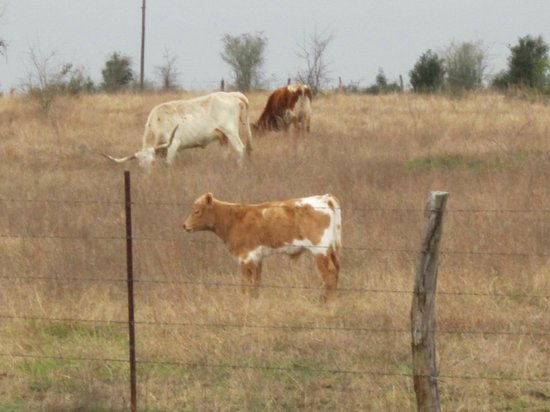 Texas Ranch Life Accommodation: Cattle grazing in pasture in front of cottage,cute calf!!