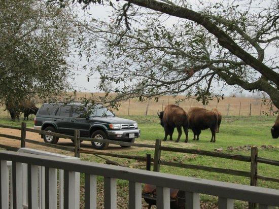 Texas Ranch Life Accommodation : Buffalo saying good morning