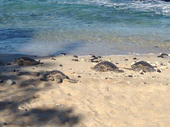 Four Seasons Resort Hualalai : Turtles in front of the snorkel pool