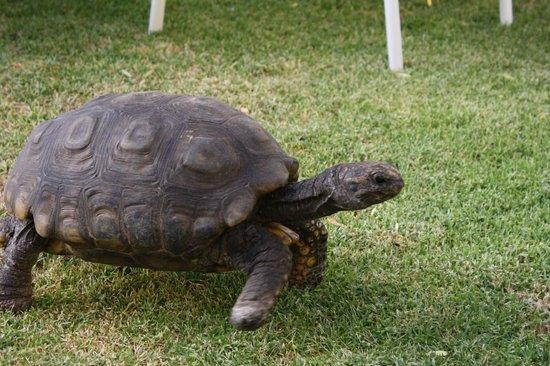 Casa de Avila - For Travellers: Resident tortoise- Paca