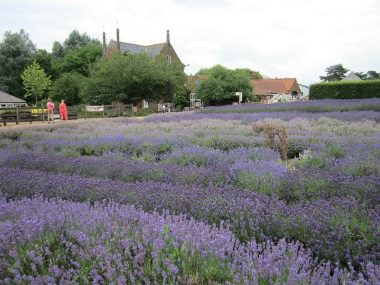 Norfolk Lavender: Fields