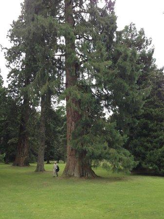 Scone Palace : large North American tree