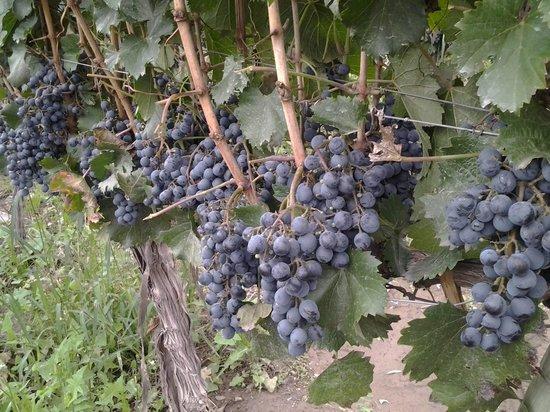 Posada Cavieres Wine Farm: vinhedo da posada cavieres