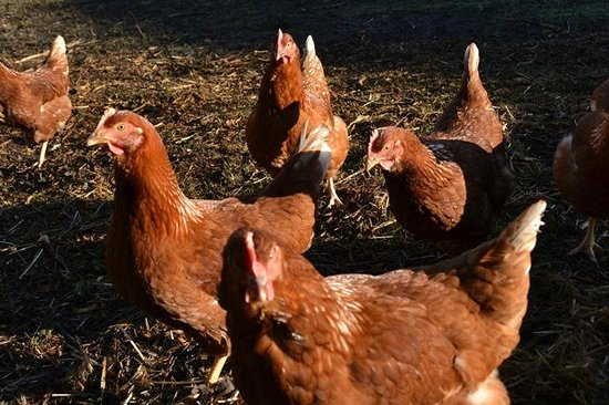 Gattaway B&B: Free range chickens