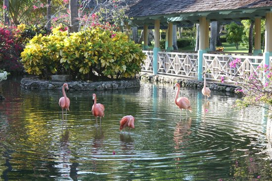 Iberostar  Bávaro Suites: The grounds and Flamingos near lobby