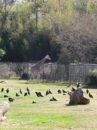 Cameron Park Zoo Giraffe