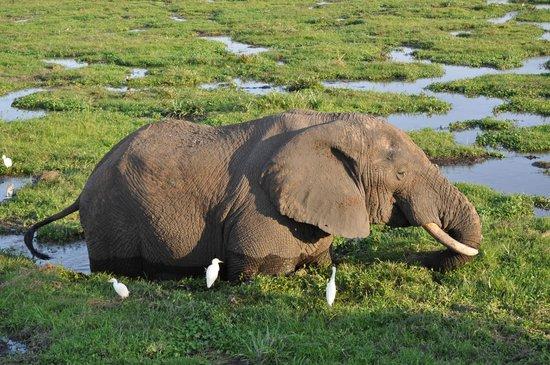 AA Lodge Amboseli: В Амбосели. Слон, спасающийся от жары в водоёме