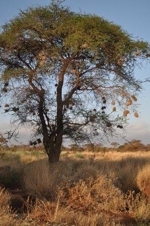 AA Lodge Amboseli: Деревья с гнёздами.