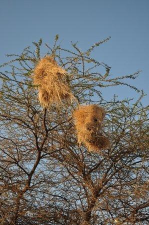 AA Lodge Amboseli: Гнёзда ткачиков.