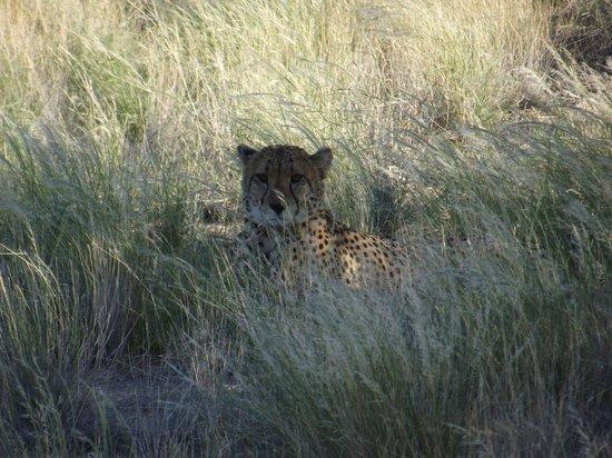 Solitaire Desert Farm: Cheetah tour
