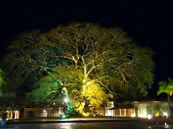 JW Marriott Panama Golf & Beach Resort: Magnifique arbre dans la cour d'entrée