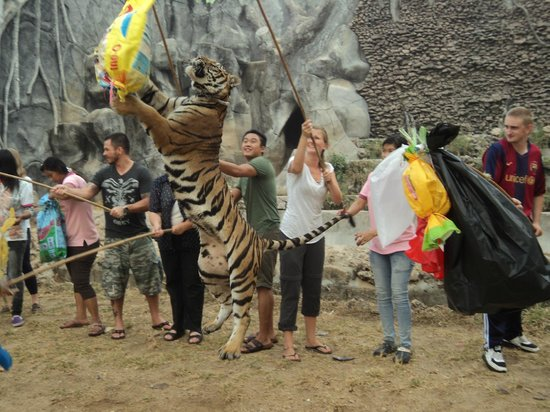 Tiger Temple Thailand Tour : Playful Tiger at the Tiger Temple Morning Tour