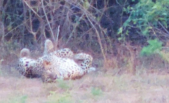 Hibiscus Garden Hotel : leopard during dusk - it thought itself unnoticeably