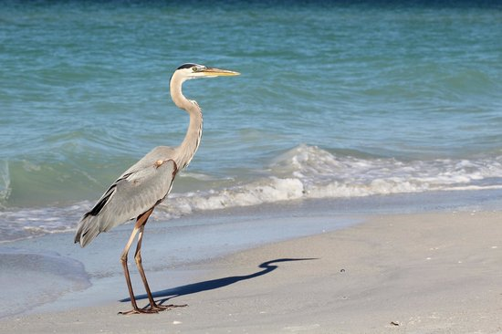 Cedar Cove Resort & Cottages: Great Blue Heron, Anna Maria Island
