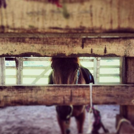 Caribe Horse Riding Club : my horse at the stall