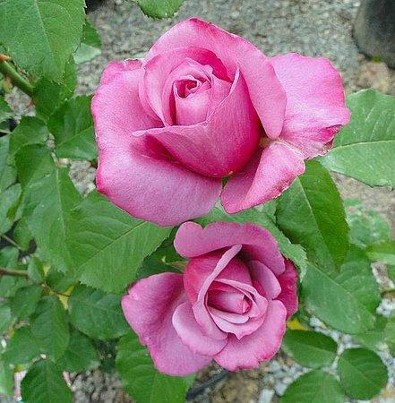 Raleigh Little Theatre Rose Garden: rose
