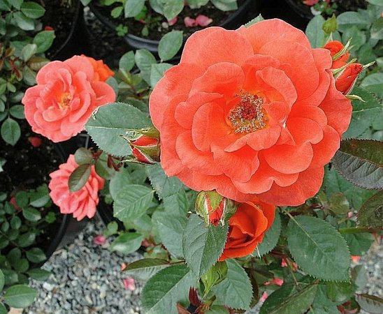 Rose Picture Of Raleigh Little Theatre Rose Garden Raleigh Tripadvisor