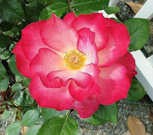 Raleigh Little Theatre Rose Garden : rose