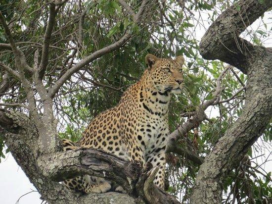 Kicheche Mara Camp: Great game!