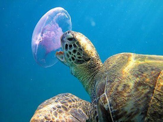 Dolphin And Snorkel Tours Jelly Fish Are A Turtles Favorite Food