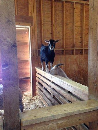 Heritage Park: Mountain Goat