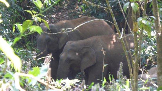 Periyar Tiger Reserve: Wild elephants