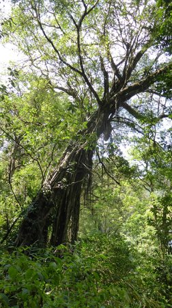 Periyar Tiger Reserve: Interesting trees