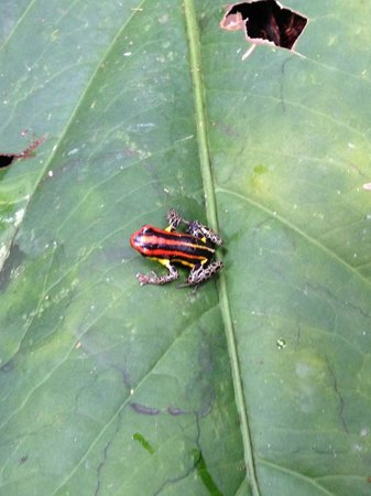 Amazonia Expeditions' Tahuayo Lodge: Poison dart frog found on a hike!