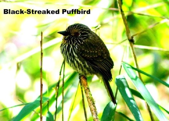 Peru Birding Tours: manu biosphere